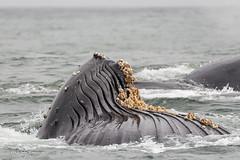 Ocean Safari (Images by John 'K') Tags: ocean monterey nikon montereybay sigma pacificocean whales sealions humpback fundraiser whalewatching ccf humpbackwhales johnk d600 50500mm sigma50500mm cheetahconservationfund nikond600 oceansafari montereybaywhalewatch johnkrzesinski randomok