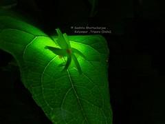 চেতনার আলোয় উদ্ভাসিত শিউলি (Sanhita Bhattacharjee/সংহিতা ভট্) Tags: autumn india flower macro green love closeup night dark creativity leaf heart getty bangla loveu greenleaf gettyimage iloveu tripura lowlightphotography phool dearlove ফুল ত্রিপুরা শিউলি শারদীয়া শরৎ শেফালী sanhitabhattacharjee beautifultripura nightjesmine shiuliphool