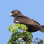 Short-tailed Hawk - dark morph juvenile (Buteo brachyurus)