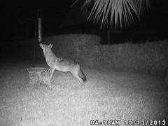 Florida Coyote (Jim Mullhaupt) Tags: coyote mammal backyard flickr florida infrared bradenton carnivore canislatrans trailcam mullhaupt jimmullhaupt