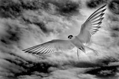 Arctic Tern (Ronan.McLaughlin) Tags: ocean blue ireland irish white bird beach nature water birds coast nikon marine wildlife kitlens atlantic maritime donegal malinhead inishowen d90 irishwildlife sigma150500 ronanmclaughlin