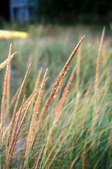 Marram Grass (Highpockets Studio) Tags: beach chief grasses beachgrass marramgrass tallgrasses ammophila doorcountywi lilybay sturgeonbaywi