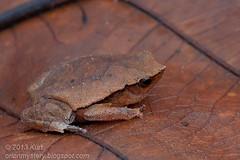 Red Sided Sticky Frog (Kalophrynus pleurostigma) IMG_2220 copy (Kurt (OrionHerpAdventure.com)) Tags: amphibian frog herpetology amphibia microhylidae litterfrog