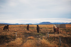 Who are you? [HCS] (yrrgeirs) Tags: horses iceland cliché icelandichorse clichésaturday