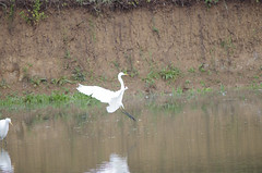 Great White Egrets - 5 (tame_alien) Tags: lake bird water animal flight waterbird luxembourg greatwhiteegret aquaticbird remerschen