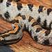 Western Pygmy Rattlesnake