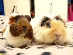 Mal and Griff, 23 Nov 13 (Castaway in Scotland) Tags: pet cute animal scotland guinea pig cavy rodent adorable olympus east lothian musselburgh e410