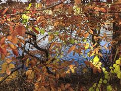 IMG0536iPH5  Leaves   2013 Paul Light (Paul Light) Tags: leaves arlington vines massachusetts arlingtonreservoir
