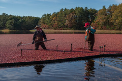 L1003217 (sswee38823) Tags: farm cranberry cranberries cranberrybog harvest carver carverma ma massachusetts newengland noctiluxm50mmf095asph leica leicam leicamtype240 slocumgibbscranberryco pdp noctiluxm109550mmasph seansweeneyphotographer seansweeney leica50mmf95