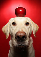 Apple (scott cromwell) Tags: red dog apple fruit labrador yellowlabrador thelittledoglaughed
