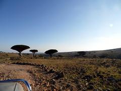 Dragon Tree (Matthew J. Fecteau) Tags: tree lumix dragon yemen dracaena socotra soqotra yémen fecteau iemen سقطرة الجمهوريةاليمنية sokotra