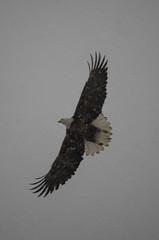 Aerobatics in a Snowstorm (ArneKaiser) Tags: arizona sky snow bird baldeagle birdsofprey thebestof autoimport heliaeetusleukocephalus