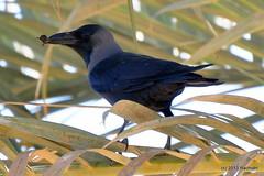 DSC_0439 (rachidH) Tags: nature birds redsea egypt corneille crow oiseaux corbeau corvus corvidae corvussplendens housecrow corvids corbeaufamilier rachidh