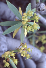 Euphorbia lamarckii - ein Kanarenendemit (fotoculus) Tags: flowers flores fleur flora blumen canarias espana vegetation euphorbia spanien blten kanarischeinseln elhierro arenasblancas euphorbialamarckii
