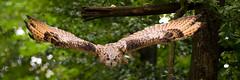 eagle owl (Cloudtail the Snow Leopard) Tags: wildpark bad mergentheim tier animal vogel bird sibirischer uhu sibirian eagle owl bubo fliegen fly flying sibirischeruhu sibirianeagle cloudtailthesnowleopard