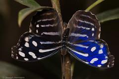 Myscelia cyaniris (Joseph.Hermann) Tags: blue macro up closeup close royal wave tropical bluewing bluebanded whitened cyaniris myscelia purplewing