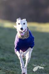 Whippetfairy. (Penelope Malby Photography) Tags: dog frost canine whippet dogphotography dogportrait bedlington whippetcross surreyphotographer whippetlurcher whiplington