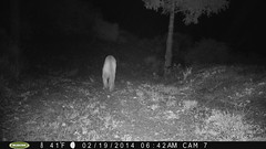 PICT0038-Mountain Lion 2/19/14 @6:42am; motion-sensor camera; private land (BobcatWeather) Tags: california mountains mammal san cruz puma mateo cougar pumaconcolor felidae countysanta fwnp
