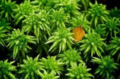 Beech leaf on sphagnum moss (loveexploring) Tags: newzealand leaf moss rainforest northisland tawhai temperaterainforest sphagnum beechleaf silverbeech nothofagusmenziesii