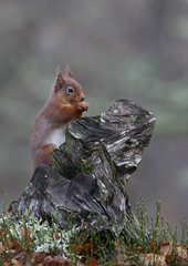 Red Squirrel (Markp33) Tags:
