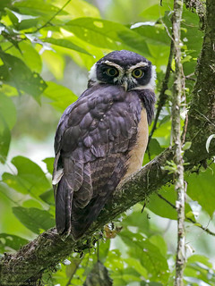 Spectacled Owl juvenile (Pulsatrix perspicillata) Braulio Carrillo National Park, Costa Rica 2017