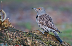 northern flicker (colaptes auratus) (punkbirdr) Tags: northernflicker colaptesauratus kusmin nikon d500 500mmedafsif4 tc14eii14x punkbirdrphoto