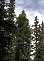08-IMG_8397 (hemingwayfoto) Tags: österreich austria baum europa fichte hohetauern nationalpark natur naturschutzgebiet rauris rauriserurwald reise tannenbaum urwald wald