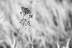 Immortal (Budoka Photography) Tags: bw blackandwhitephotos bokeh blackandwhite monochrome noiretblanc plant flower closeup manualfocus manualondigital canonllens canonfd50mmlf12 7dwf outdoor