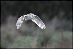 Barn Owl (image 1 of 2) (Full Moon Images) Tags: rspb fen drayton lakes wildlife nature reserve cambridgeshire bird prey birdofprey flight flying barn owl