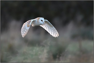Barn Owl (image 1 of 2)