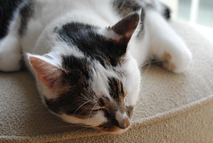 Easy like Sunday morning (zawtowers) Tags: jô cat kitty feline cute kittie animal pet resting relaxed home curled up cosy white hunched over head edge