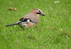 Jay (PhotoLoonie) Tags: jay bird wildbird nature wildlife avian spring britishbird ukbird