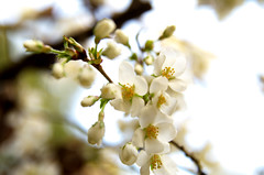 Apple Blossoms (Kristian Francke) Tags: spring 2017 april 10 flowers apple blossom white bright green yellow outdoors nature garden natural springtime bc canada british columbia sun sunny day daylight pentax