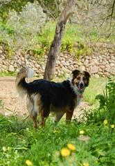 Turca (VICTOR - IBIZA) Tags: dog spring ibiza bordercollie mydog