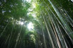 Light through the Bamboos (prinzesslifu) Tags: 2016 arashiyama arashiyamabambushain arashiyamabamboogrove bamboo bambus forest fujixt1 japan kyoto november wald