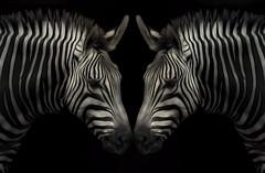 Symmetry in Nature (NYRBlue94) Tags: symmetry nature animal zebra wild stripes mono black white mirror double kingdom