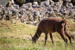 Alpaca (NRodriguez1711) Tags: brophy cusco immersion peru trip alpaca grass machu picchu wildlife
