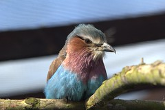 Lilac-breasted Roller (MrAlbionMan) Tags: lilacbreastedroller bird animal wildlife nature zoo
