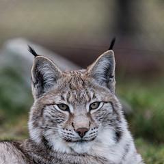 Lynx in very low light (bloedmann999) Tags: lynx greifvogelstationhellenthal luchs