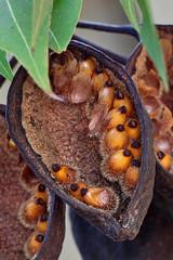 Brachychiton populneus seeds, (AlfredSin) Tags: alfredsin macromondays seeds brachychitonpopulneus australianflowers australianplants australiantrees australiannativeplants australiannativeflowers australiannativetrees macro macrophoto fruitpods