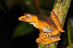 Borneo eared frog (Polypedates otilophus) (Sky and Yak) Tags: kubah sarawak borneo malaysia nature naturalworld polypedates otilophus eared frog