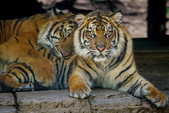 Nelson and Suka (ToddLahman) Tags: suka sandiegozoosafaripark safaripark sumatrantiger nelson teddy joanne tiger tigers tigertrail exhibita male brothers mammal outdoors closeup nap canon7dmkii canon canon100400
