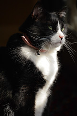 (Texas.713) Tags: cat black white tux tuxedo