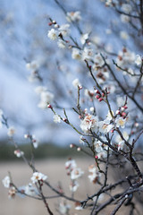 IMG_2381crs (kenta_sawada6469) Tags: flower flowers spring nature macro colors japan ume japaneseapricot japanese