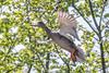 Mallard-0010.jpg (vorneo) Tags: bird duck mallard familyanatidae kingdomanimalia orderanseriformes classaves genusanas wild phylumchordata speciesaplatyrhynchos wildbird binomialnameanasplatyrhynchos