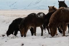 Islande, chevaux, 1 (Patrick.Raymond (3M views)) Tags: islande chevaux matin hdr gel neige hiver nikon nikonflickraward