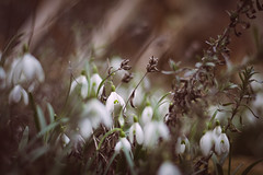 The beauty & the beast [Explored 20.03.2017] (marcmyr) Tags: nikon d5200 nikkor 50mm f18 bokeh dof depth field spring frühling snowdrops schneeglöckchen beauty beast nature natur blossom peaceful soft