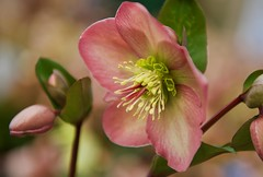 Hellebore on a stormy day..... (ineedathis,The older I get the more fun I have....) Tags: hellebore winterrose lentenrose christmasrose perennial plant evergreen garden winter nature helleborusorientalis flower buds leaves nikond750 bokeh