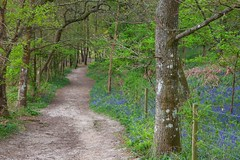 Woodland Path Walk (Adam Swaine) Tags: walks footpath paths woodland woodlandfloor woods kent bluebells trees naturelovers nature springinkent spring swaine english england countryside counties canon uk