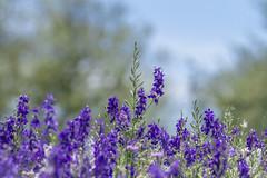 Delphiniums_MG_0156 (918monty) Tags: wildflowers delphinium larkspur purple purpleflowers richardsontexas